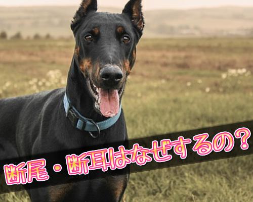 犬の断尾・断耳の理由は?痛いの?性格の変化など詳しく解説