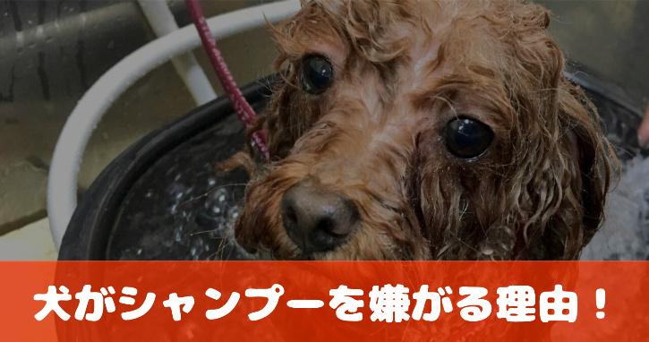 犬がシャンプーを嫌がる理由!体をこするのと密接な関係が!