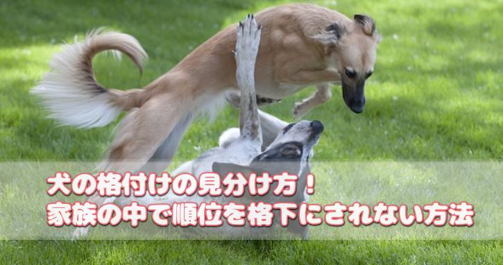 犬の格付けの見分け方!家族の中で順位を格下にされない方法