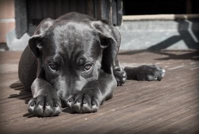 犬の待て伏せは難しい!できない理由と覚えてくれない時の必須アイテム