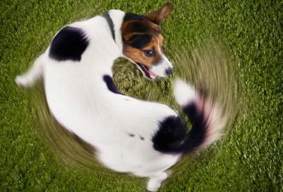 犬 しっぽ 追いかける